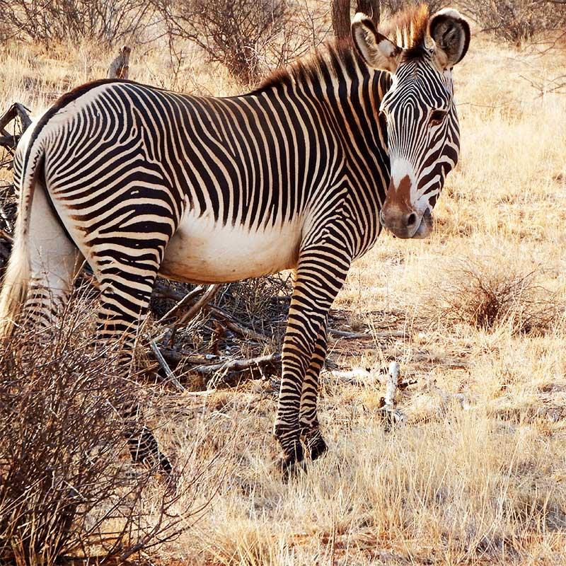 zebre di Grevy